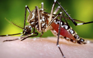 The Aedes aegypti mosquito can infect humans with the Zika virus when it takes a blood meal. Credit: Sanofi Pasteur, FlickrCC.