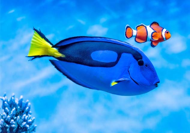"Dory and Nemo are based on a  palette surgeonfish (or Dory) and anemone fish (also known as ""clownfish"", or Nemo). Photo Credit: Monterey Bay Aquarium"