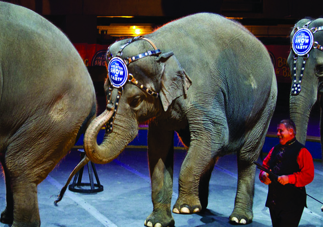 Ringling Bros. and Barnum & Bailey has transitioned its remaining circus elephants to a Florida-based facility focused on conservation, care and research. Credit: Arthur T. LaBar, FlickrCC.