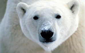 Global warming could claim polar bears as a casualty within a century and has already forced the Golden Toad, Bramble Cay Melomy and other wildlife species into extinction. Credit: Flickrfavorites, FlickrCC.