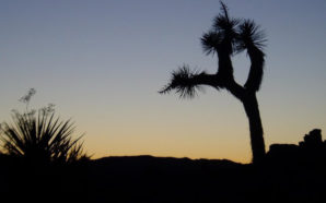 A new report urges the incoming Trump Administration to prioritize the recovery of ten imperiled species, including the Joshua Tree. Photo Credit: WildEarth Guardians