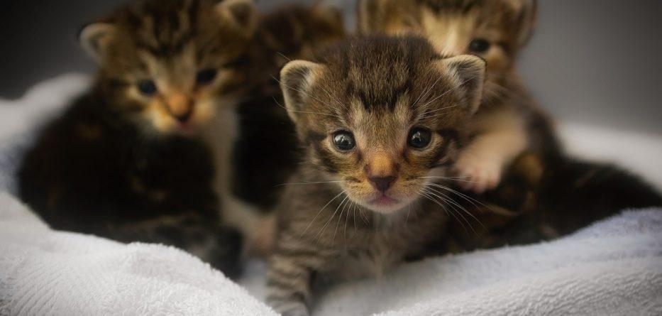 Cat Adoption Fair San Jose