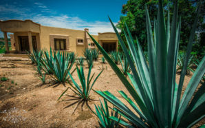 Mexico's Tequila Ocho lets some of the blue agave plants at its Los Fresnos ranch reach full flower—a process that can take up to eight years and makes the plants no longer able to produce tequila—for the sake of local endangered bat populations that depend on them to thrive. Photo Credit: Pixabay