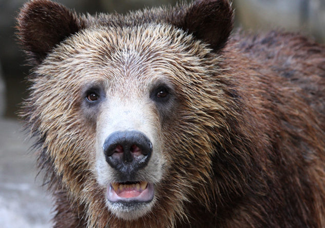 "Yellowstone's grizzly bear population has bounced back from dangerously low numbers since the mid-1970s, but environmentalists think the iconic predator of the American West still needs federal protections to be ""out of the woods."" Photo Credit: Nathan Rupert, FlickrCC"