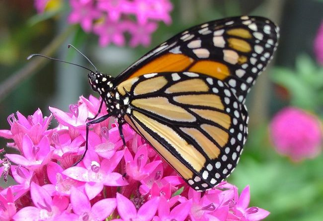 The Monarch butterfly thrives among flowering plants like milkweed. Photo Credit: Pixabay